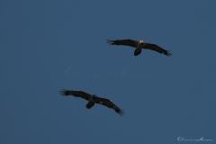 20190724_02_gypaetes_vautours_00158