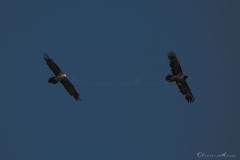 20190724_02_gypaetes_vautours_00167