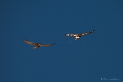 20190724_02_gypaetes_vautours_00171