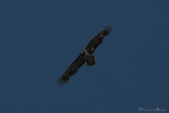 20190724_02_gypaetes_vautours_00179